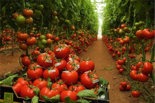 İri domates