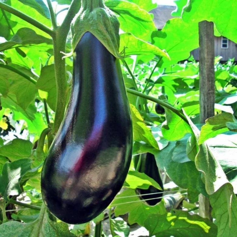 Uzun Patlıcan Fidesi (10 Adet)