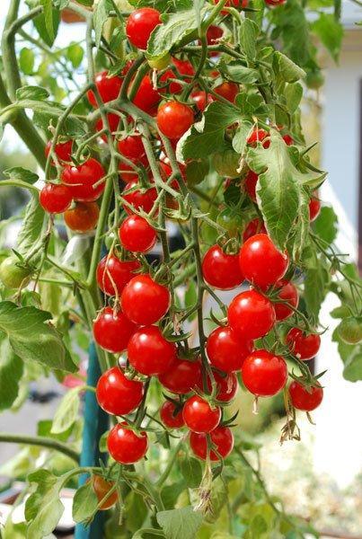 Cherry Domates Fidesi (10 Adet)