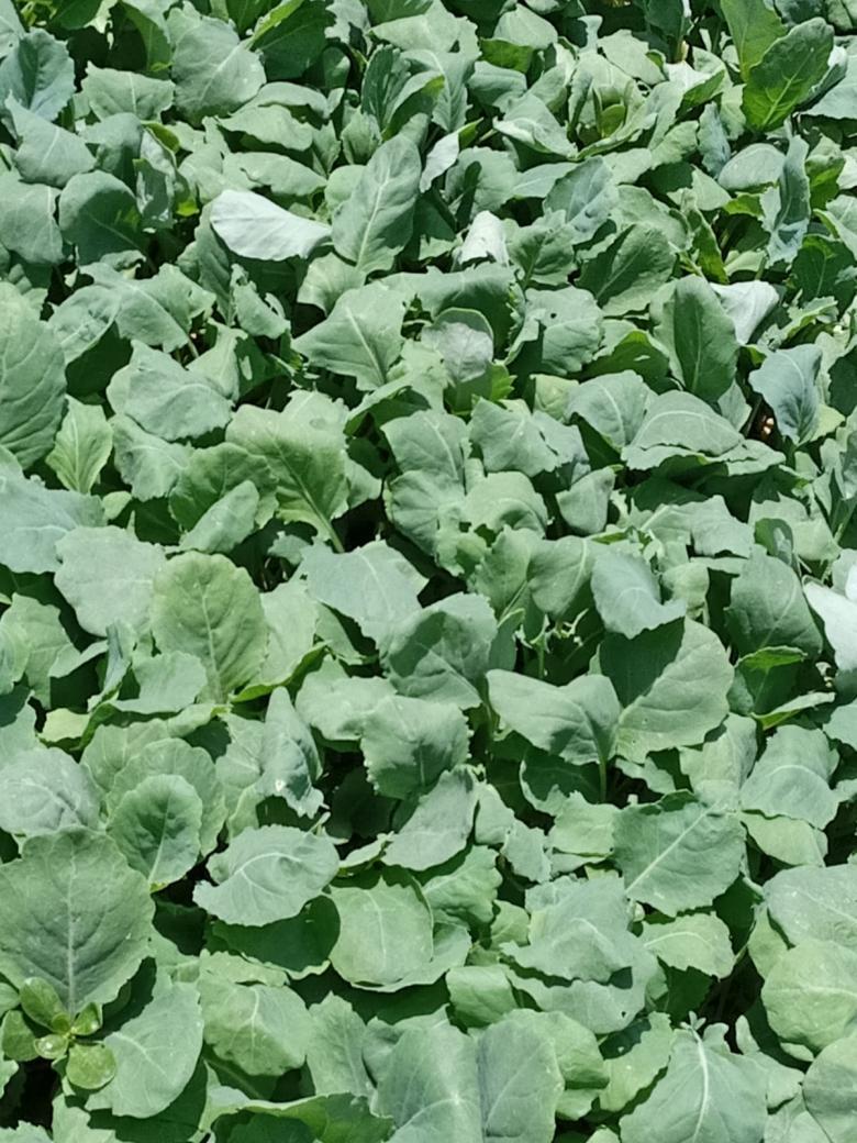 Brokoli Fidesi (50 Adet)