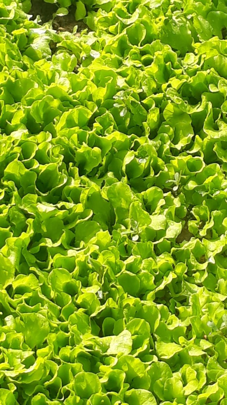 Kıvırcık Marul Fidesi (Sarı Kıvırcık)(50 Adet)