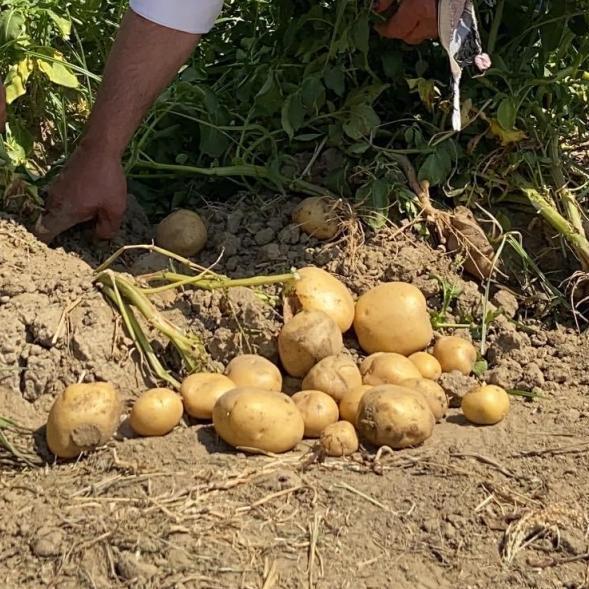 Organik Patates (Ödemiş)